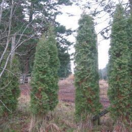 Four Cedars